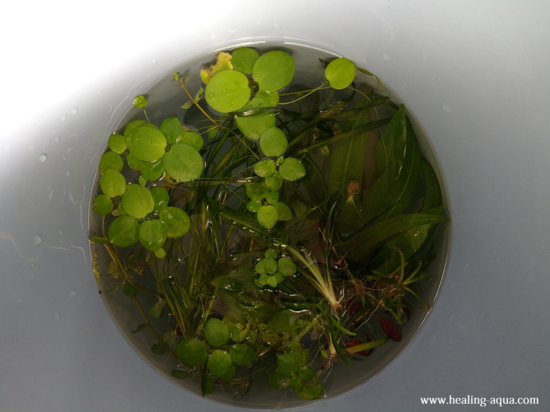 60cm水槽レイアウト水草たち
