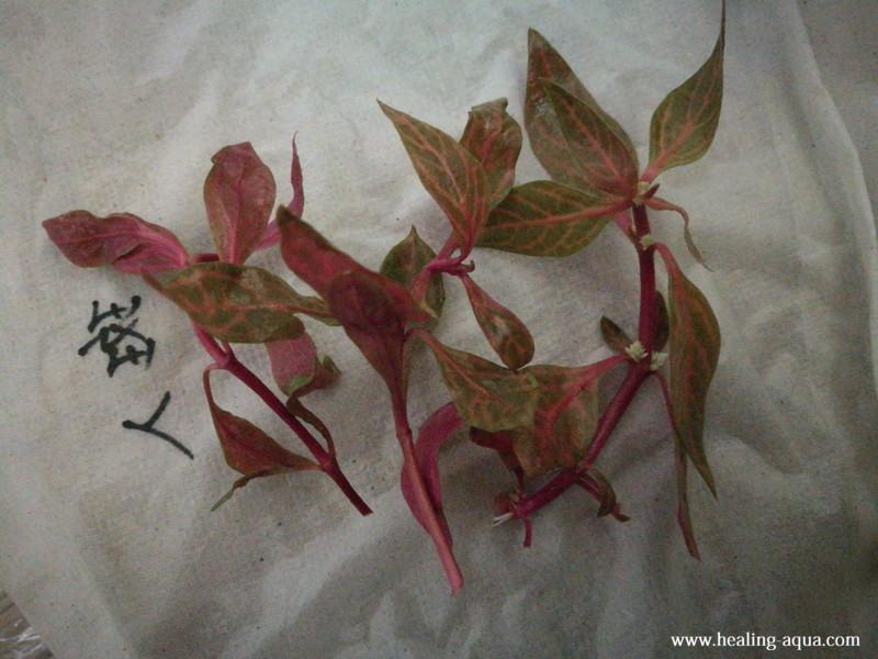 水草アルテルナンテラ斑入