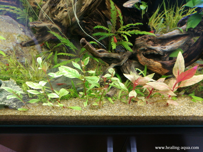 水草アルテルナンテラオキプスと斑入