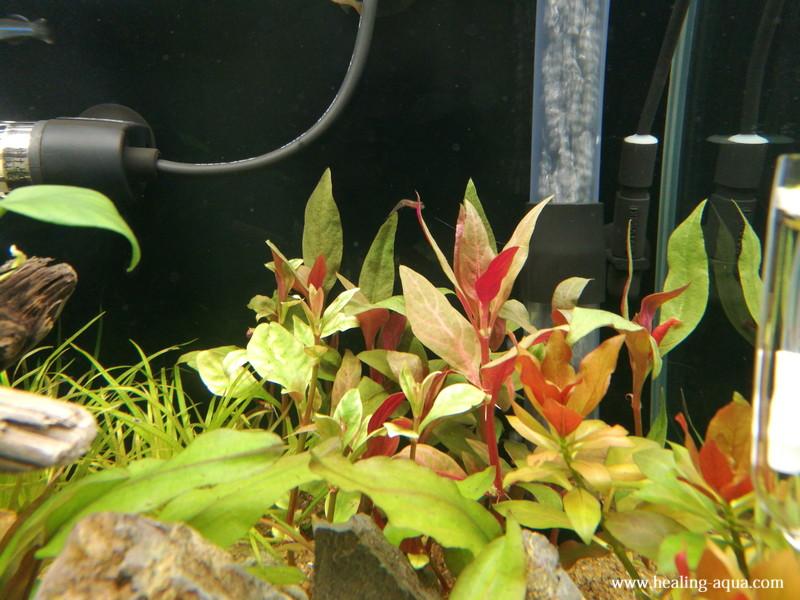 水草アルテルナンテラ5種全てを植える