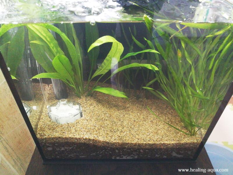 水草スクリューバリスネリアとバリスネリアスピラリスを植える