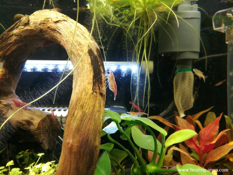 黄色の卵のチェリーレッドシュリンプ写真4