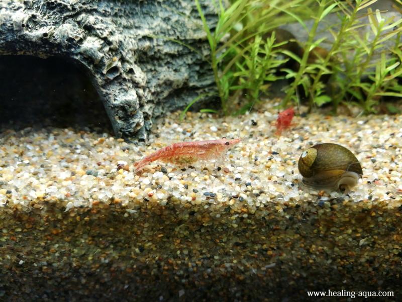 緑色の卵のチェリーレッドシュリンプ写真3