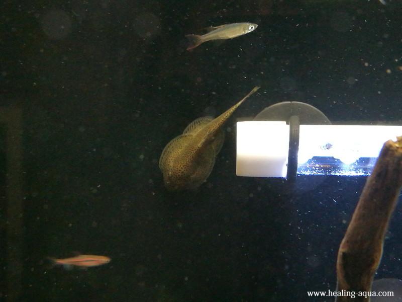 チャイナバタフライ・プレコ水槽背面ガラス面に貼り付き