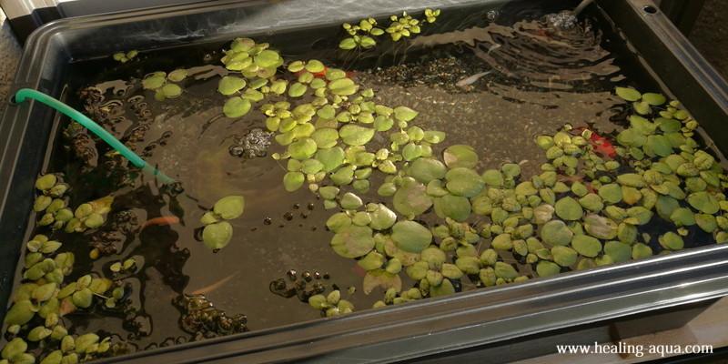 金魚とメダカトロ舟プラ箱L20水槽