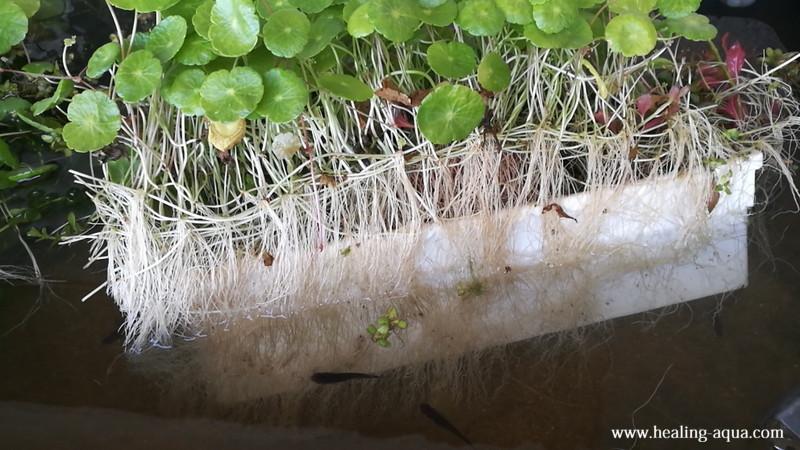 ミニマッシュルームの根