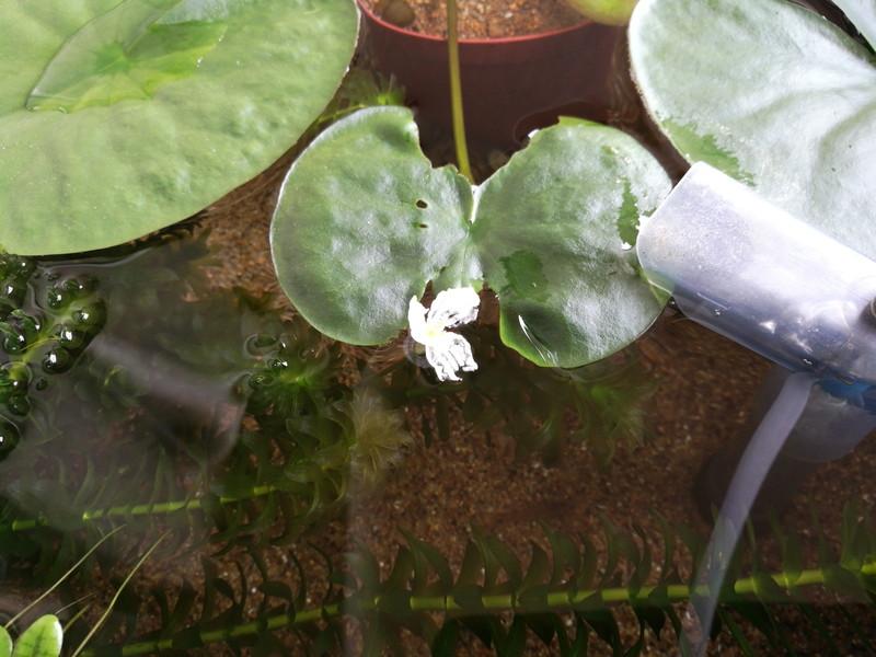 アナカリスの花完全開花