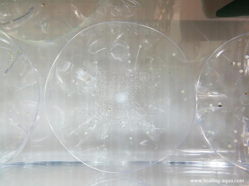 コリドラス・ステルバイが3度目の産卵で採取した卵2日目拡大