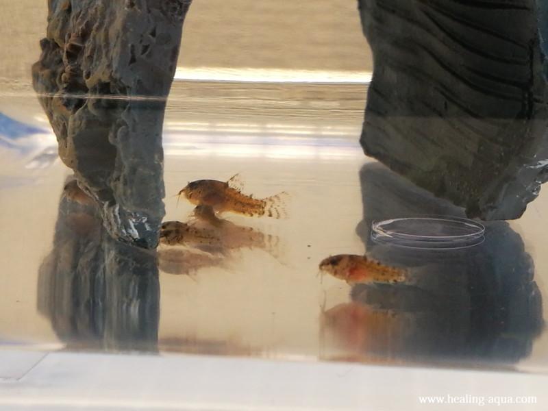 少し成長してきたコリドラスの稚魚達