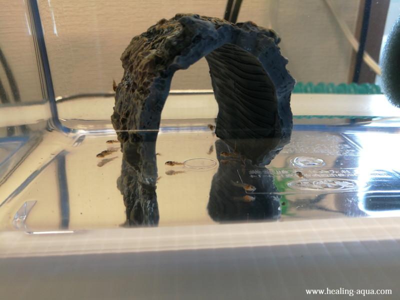 コリドラスステルバイ稚魚13日目-1