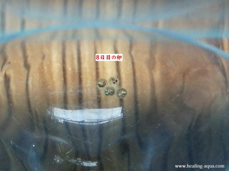 幹之メダカ、スーパー強光~鉄仮面~8日目の卵-2