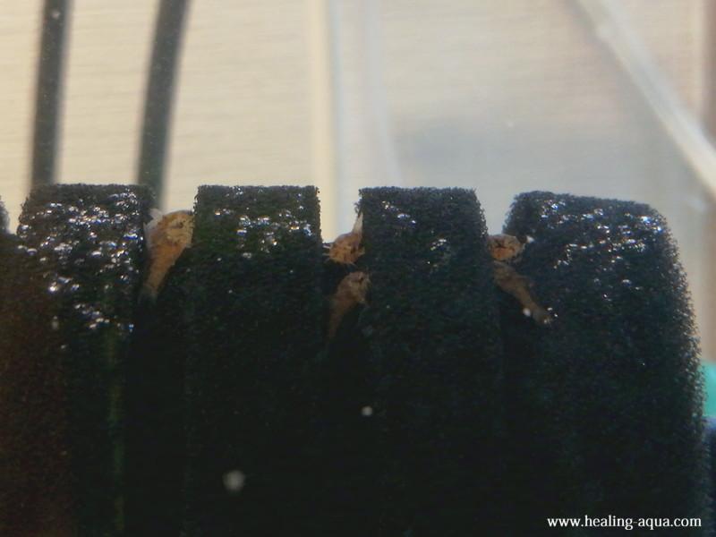 コリドラスステルバイ稚魚20日目-1