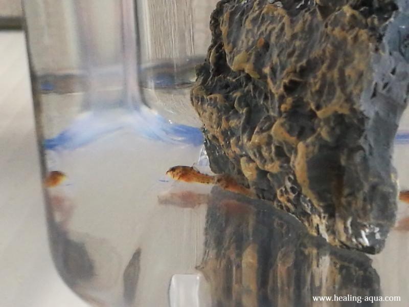 コリドラスステルバイ稚魚24日目-3