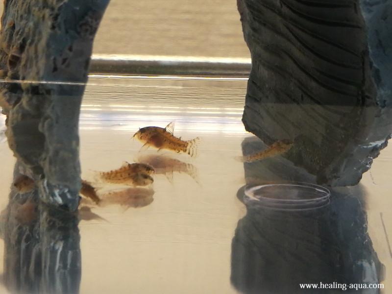 コリドラスステルバイ稚魚31日目-3