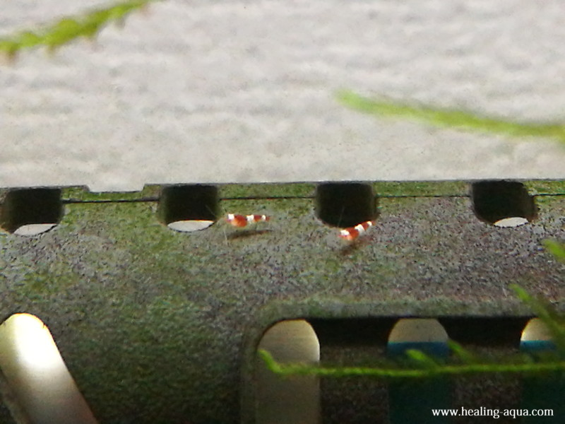 レッド(赤白)ビーシュリンプ稚エビ