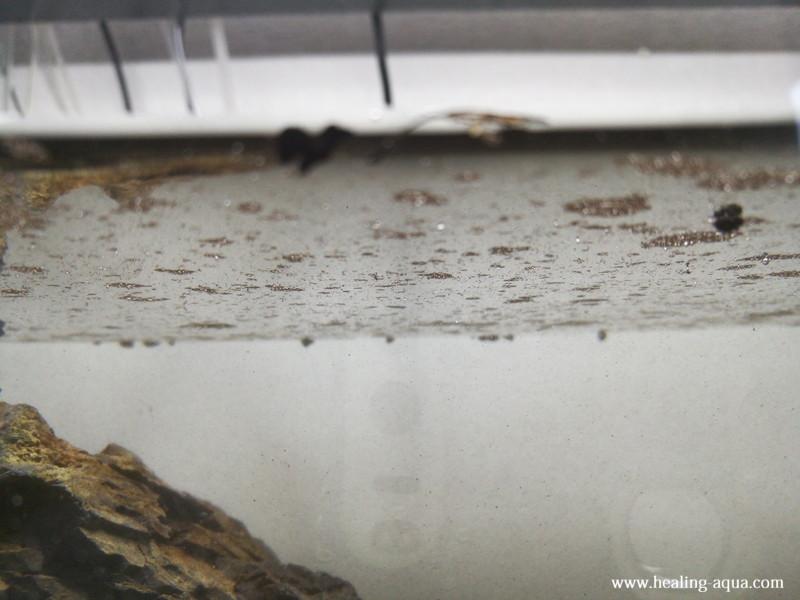 ブラック(黒白)ビーシュリンプ用水槽立ち上げ浮いた細かいソイル