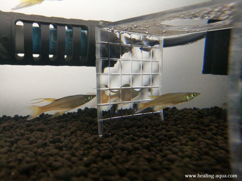 ブラック(黒白)ビーシュリンプ用水槽立ち上げパイロットフィッシュ導入