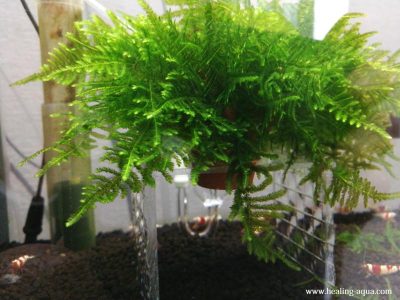 製作したモス花壇を水槽へ入れてみる水槽右側