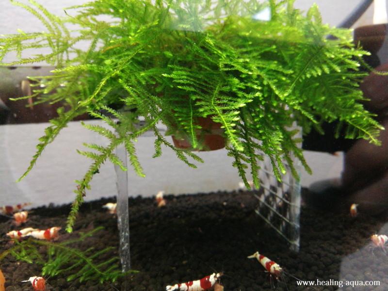 製作したモス花壇を水槽へ入れてみる水槽左側