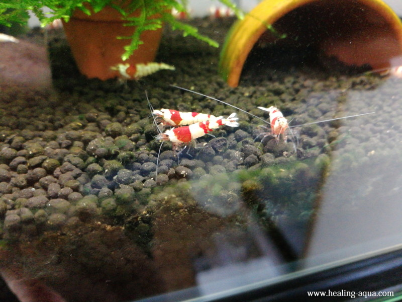 水槽へ放ったレッド(赤白)ビーシュリンプ写真1