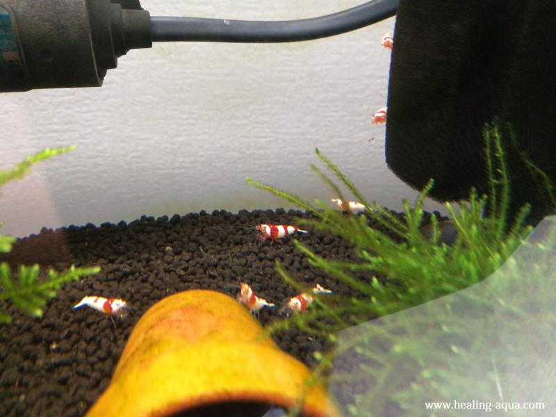 水槽へ放ったレッド(赤白)ビーシュリンプ写真3