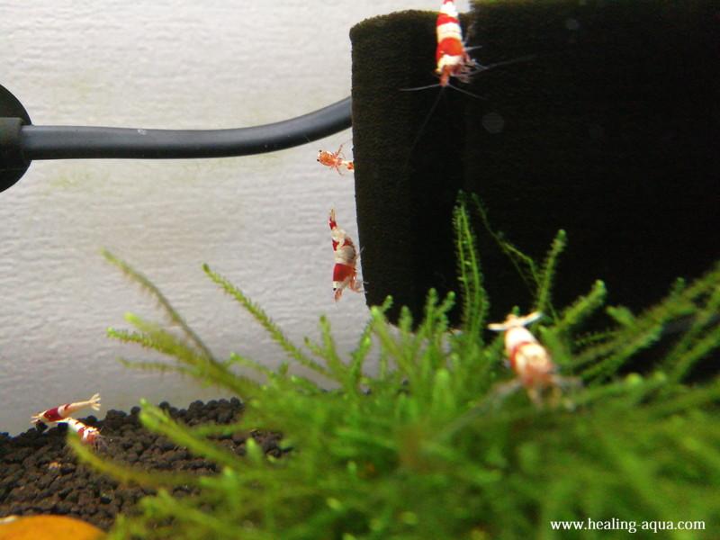 水槽へ放ったレッド(赤白)ビーシュリンプ写真4