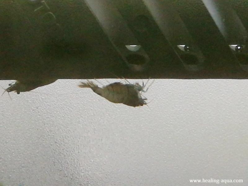 抱卵したブラックシャドーシュリンプモスラ写真6