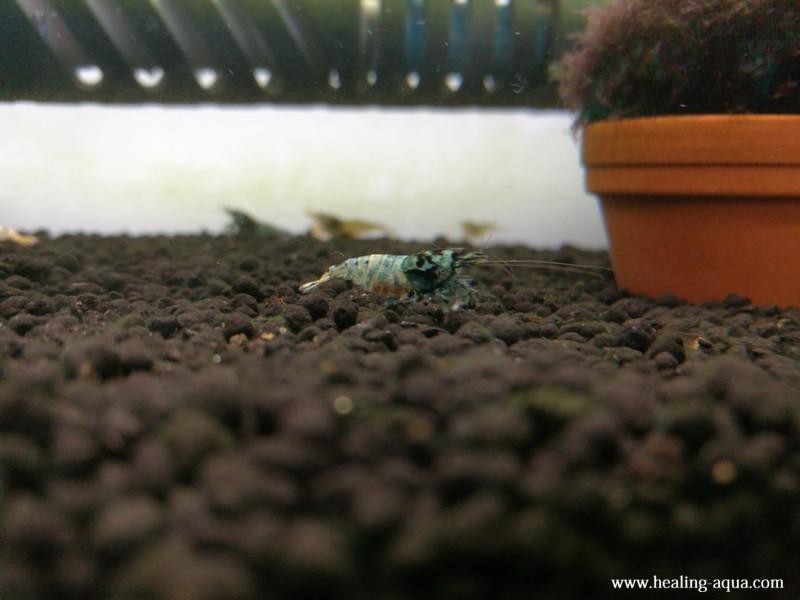 ブラックシャドーシュリンプモスラ抱卵個体11日目横から