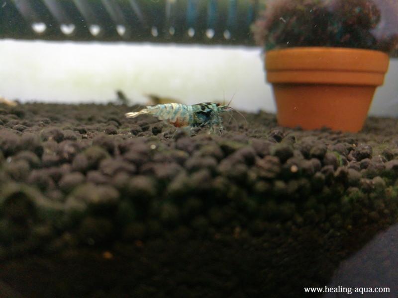 ブラックシャドーシュリンプモスラ抱卵個体11日目後ろから