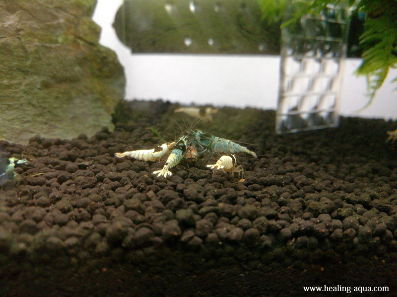 ブラックシャドーシュリンプモスラ抱卵個体エサに集まる