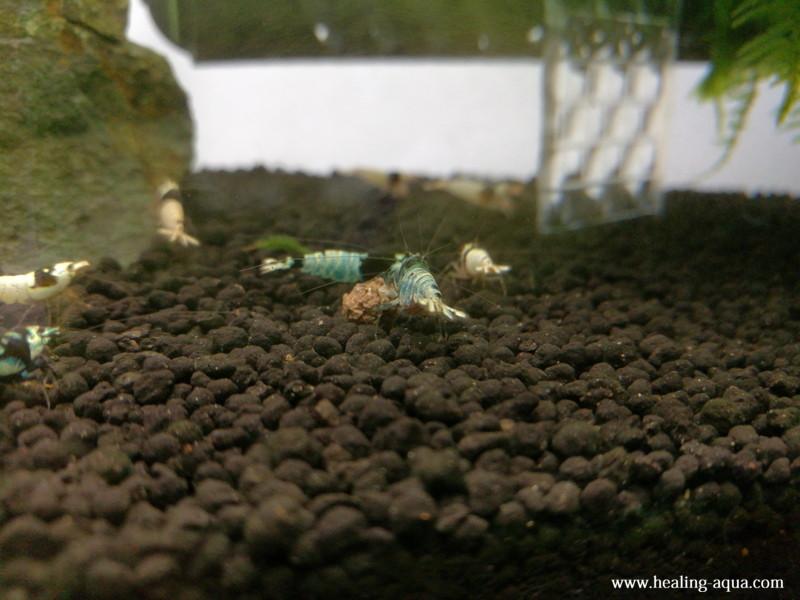 ブラックシャドーシュリンプモスラ抱卵個体エサを独りで食べている