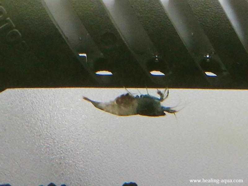 抱卵したブラックシャドーシュリンプモスラ写真2