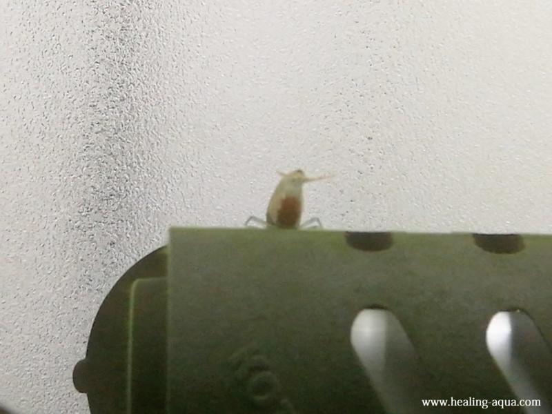 抱卵したブラックシャドーシュリンプモスラ写真3