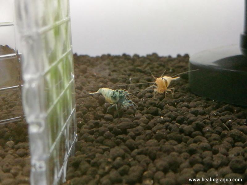 抱卵したブラックシャドーシュリンプモスラ写真5