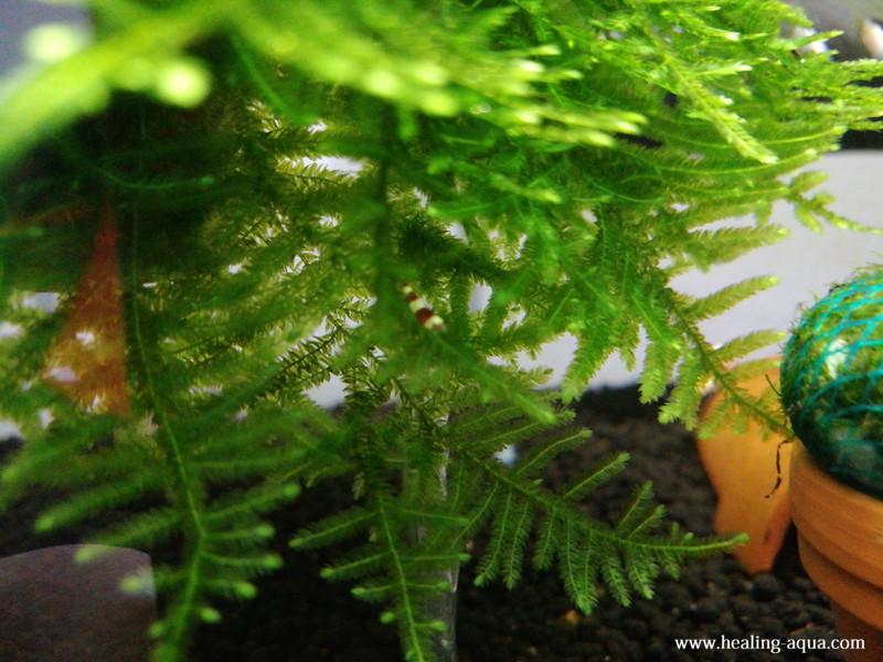 生まれて約1ヶ月後のレッド(赤白)ビーシュリンプ稚エビ写真3