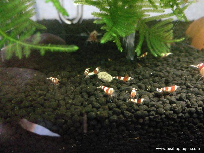 レッド(赤白)ビーシュリンプ成エビと稚エビの食事風景4