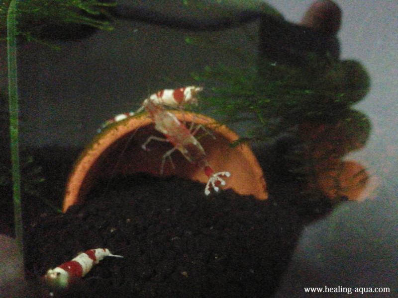 抱卵の舞から2日後抱卵したレッド(赤白)ビーシュリンプ