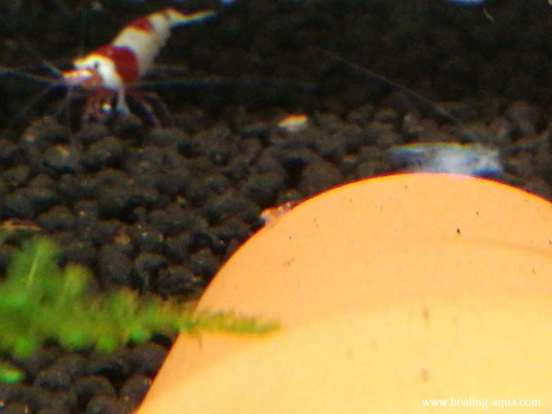 生まれたてのレッド(赤白)ビーシュリンプ稚エビ写真2