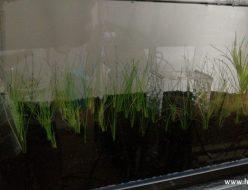 ヘアーグラスショートを植えたアーク500水槽