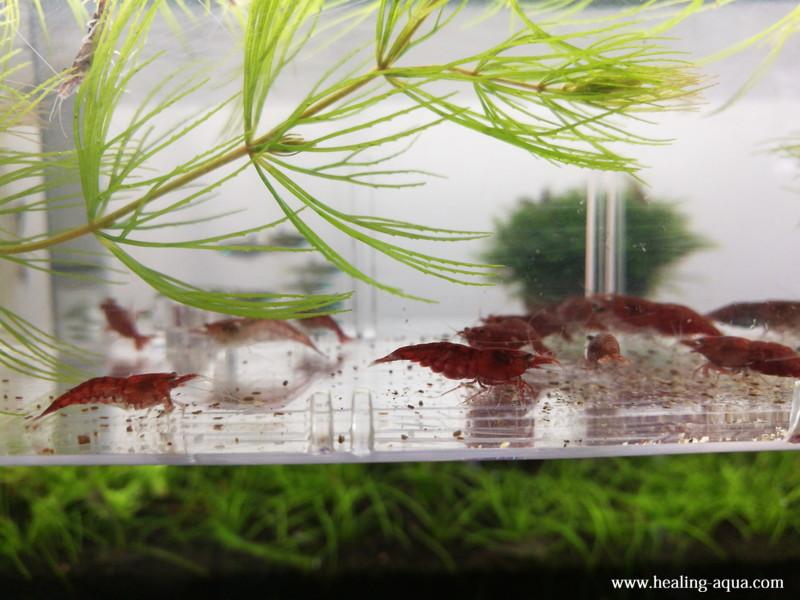 サテライトLの中でエサを食べている極火蝦レッドファイヤーシュリンプ