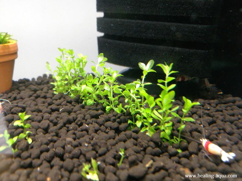 一列に貼り付けたニューパールグラスを植栽してみる