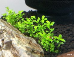 一列に植栽されたニューパールグラス