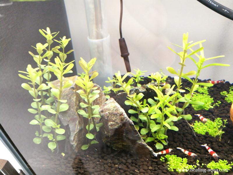 植栽8日後のロタラsp.ワイナード水上葉