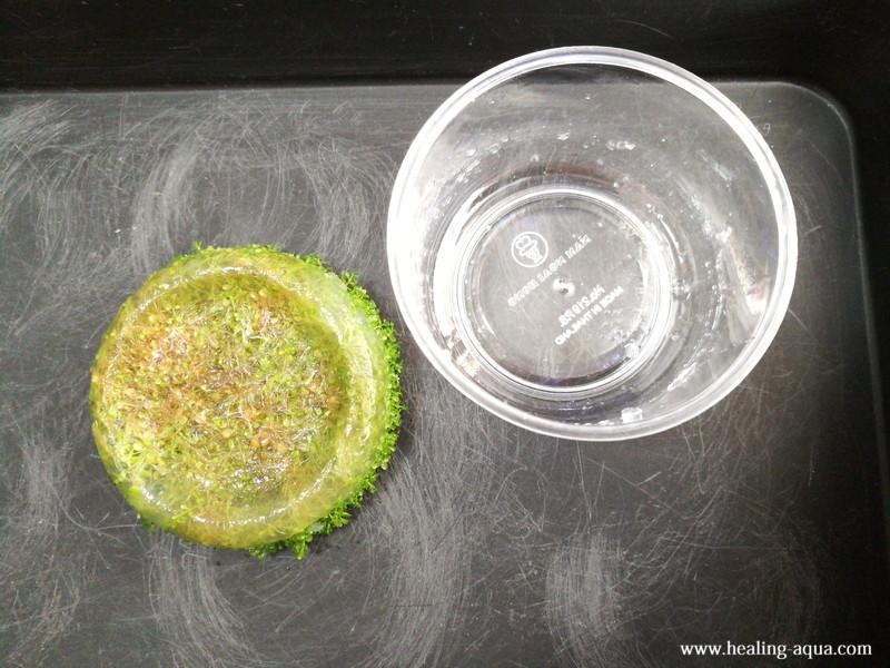 組織培養キューバパールグラスをカップから取り出す
