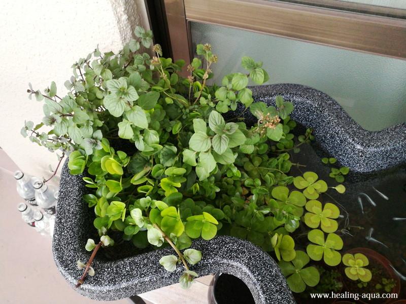 10月末ごろの水辺植物寄せ植え