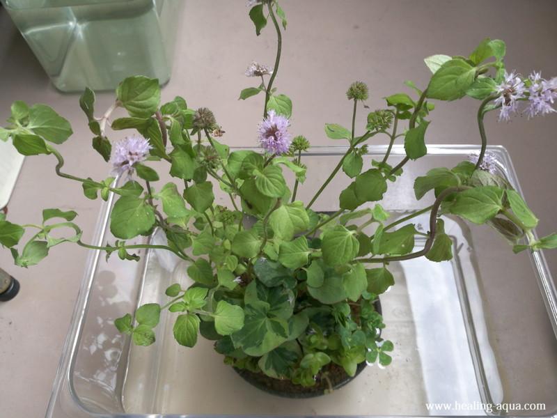 購入し到着した時の水辺植物(寄せ植え)