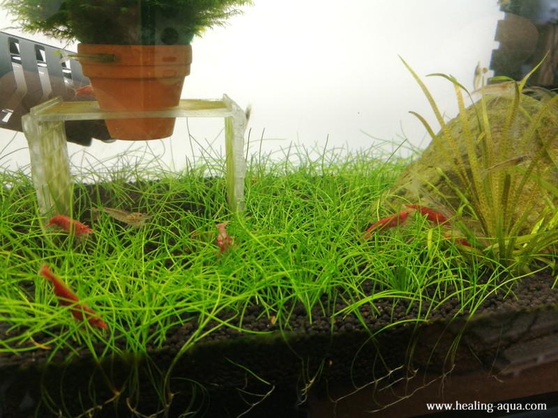 植栽31日目伸びてきたヘアーグラスショート