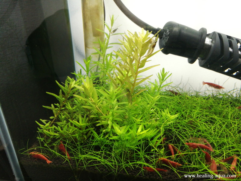 植栽31日目水槽左側のヘアーグラスショート