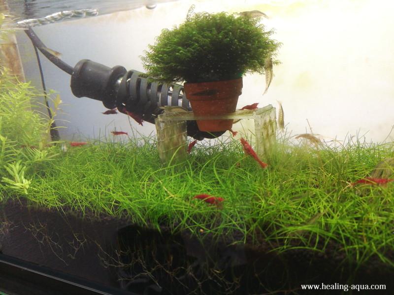 植栽49日目のヘアーグラスショート