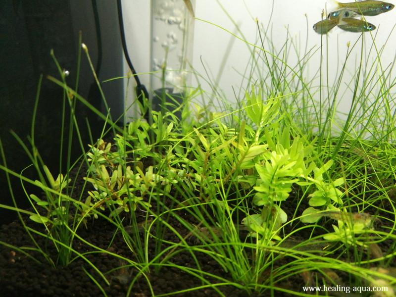 ロタラ各種も水中葉へ変わってきたところ